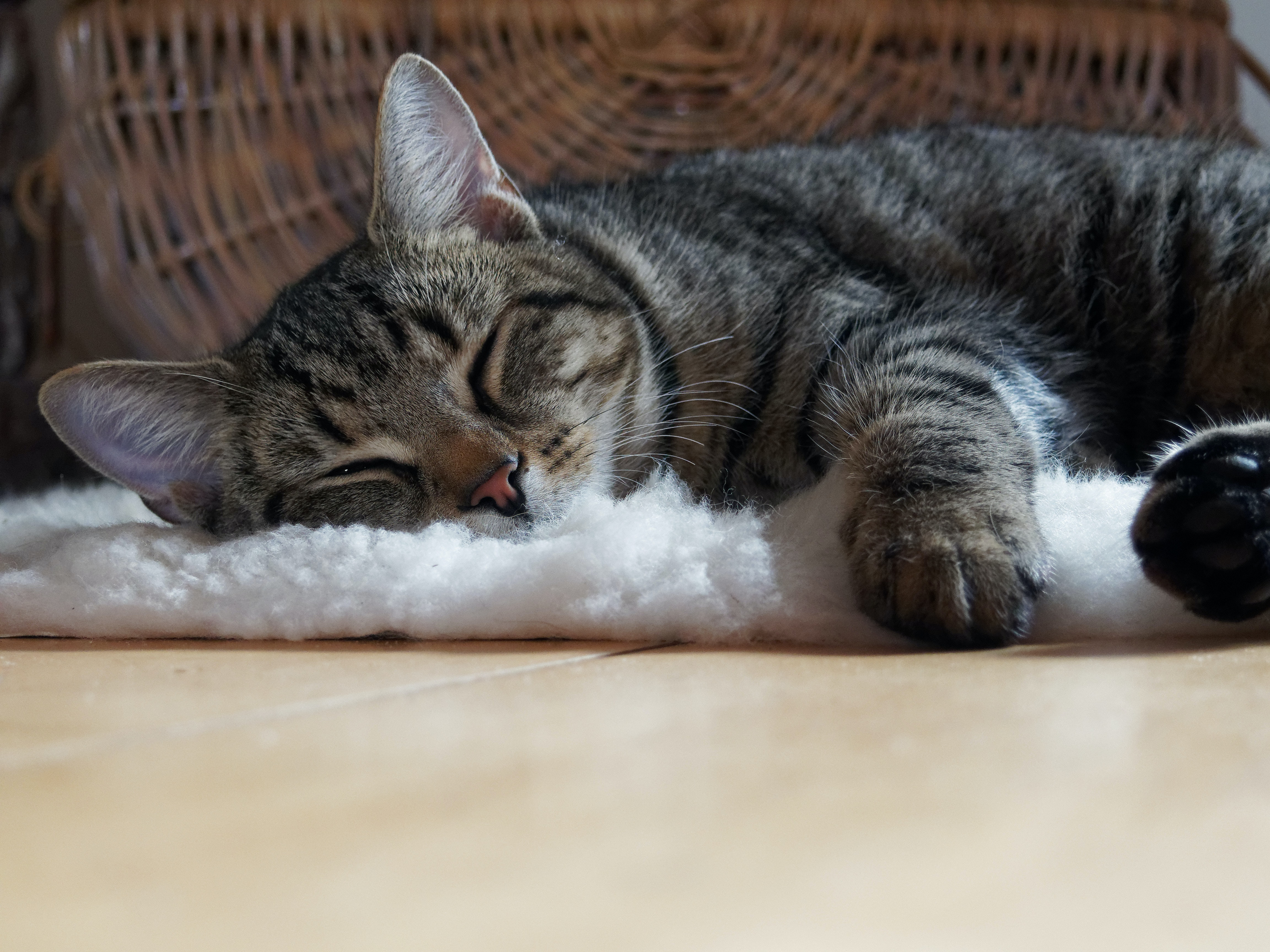 brown-tabby-cat-lying-on-shag-rug-720684